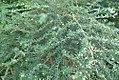 Nashia inaguensis 0zz.jpg