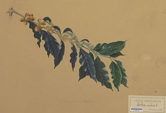 Coffea arabica - Botanical drawing of Coffea arabica, around 1860