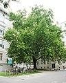 Naturdenkmal 778 2011-09-08 0229 Wien09 Spitalgasse23 Platane GuentherZ.JPG