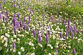 Nature at Evolene with hundreds of nice orchidees in full colour - panoramio.jpg