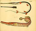 Naturgeschichte in Bildern mit erläuterndem Text (Taf. CXXXIII) (6058682297).jpg