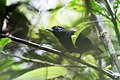 Neoctantes niger - Black Bushbird - male.jpg