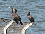 Neotropic cormorants by the lake (2).jpg