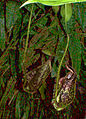 Nepenthes-sp1.jpg
