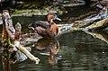 Netta peposaca (Rosy-billed Pochard - Peposakaente) - Weltvogelpark 2012-01.jpg