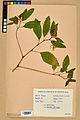Neuchâtel Herbarium - Impatiens noli-tangere - NEU000019930.jpg