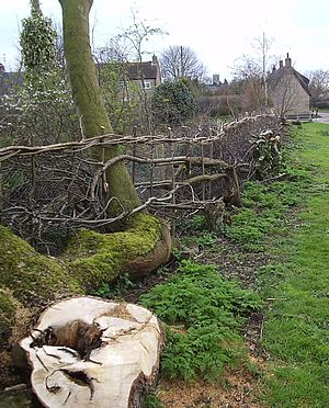 Hedge laying - A newly laid Northamptonshire hedge in Grendon