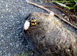 Nicrophorus vespillo - Nicrophorus vespillo on a mole carrion