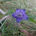 Nigella integrifolia inat1.jpg