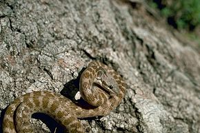 Description de l'image Night_snake_New_Mexico.jpg.