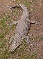NileCrocodile-SRG001c.jpg