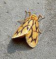 Noctuidae.Arctiinae.Lithosiini.(footman moths). see notes - Flickr - gailhampshire.jpg
