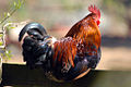 Noisy Cockeral (6880838548).jpg
