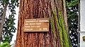 Nonnenhorn - Sequoia.jpg