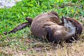 North American River Otter (Lontra canadensis) (6998574031).jpg