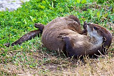 North American River Otter (Lontra canadensis) (6998574031)