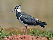 Northern Lapwing new