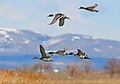 Northern Pintails in Flight (5197275166).jpg