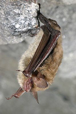 Northern long-eared bat (5881232758).jpg