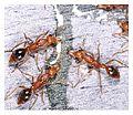 Nothomyrmecia macrops feeding on honey bait.jpg