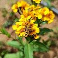 Ochraethes sommeri (Cerambycidae) mating.jpg