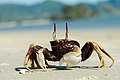 Ocypode-ceratophthalma-horned-ghost-crab-krabi-thailand.jpg