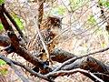 Old Owl Ranthambore.jpg