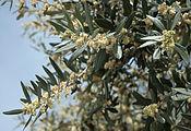 Olea europaea 2356 flowers.jpg