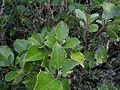Olearia arborescens 11.JPG