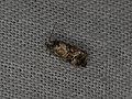 Olethreutinae sp. (20702273921).jpg