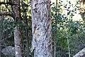 Olinia emarginata, bas, Ncagaberg, a.jpg
