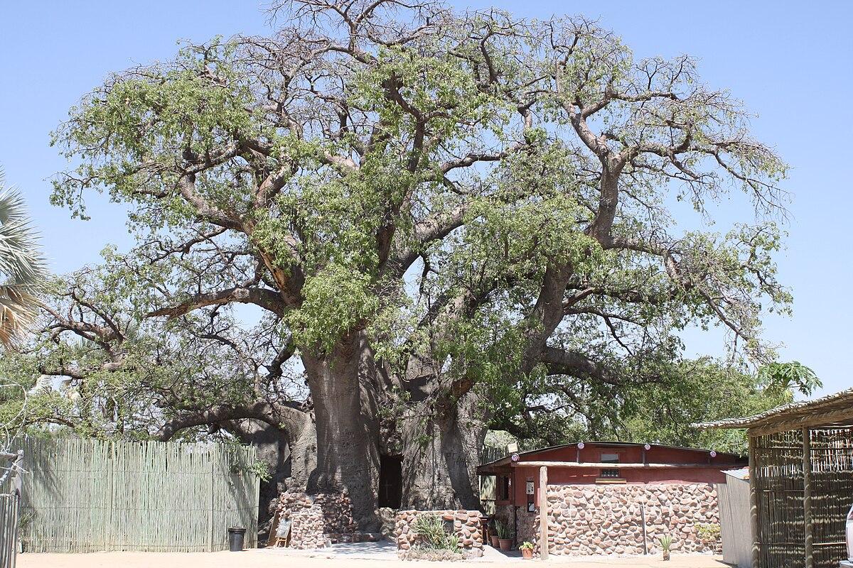 ombalantu baobab tree wikipedia. Black Bedroom Furniture Sets. Home Design Ideas