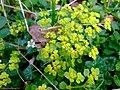Opposite-leaved golden saxifrage (Chrysosplenium oppositifolium) - geograph.org.uk - 1251519.jpg