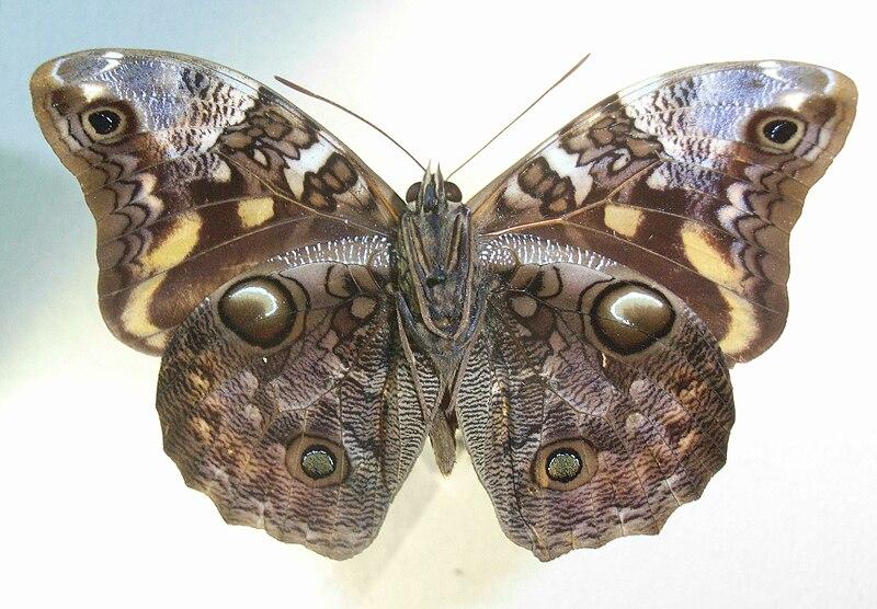 Bộ sưu tập cánh vẩy 6 - Page 3 800px-OpsiphanesnicandrusUns