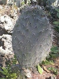Opuntia fuliginosa 1c.JPG