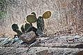Opuntia insularis, Isabela 2010 10 03 1664 (5174991361).jpg