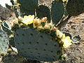 Opuntia stricta (5760814529).jpg