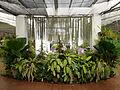 Orchidées-Jardin botanique de Peradeniya-Sri Lanka (1).jpg