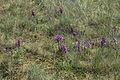 Orchideen-Wiese IMG 7515.JPG