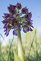 Orchis purpurea (14061923774).jpg