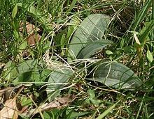 Orchis ustulata leaves 200404.jpg