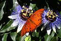 Original Fritillary feeding on passion flower.jpg