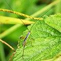 Orthopteran Nymph (48879621541).jpg