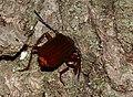 Orthosoma brunneum - Brown Prionid - (a long-horned beetle species) (48245002742).jpg