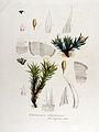 Orthotrichum diaphanum — Flora Batava — Volume v13.jpg