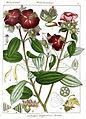 Osbeckia wightiana Rungiah.jpg