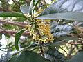 Osmanthus fragrans var aurantiacus f thunbergii2.jpg
