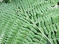 Osterich Fern Foliage.jpg