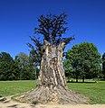 Pücklersche Blutbuche Muskau-Park Bad Muskau... 2H1A1293WI.jpg