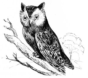 The American Screech owl